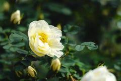 一朵白色玫瑰的开花的灌木 免版税库存图片