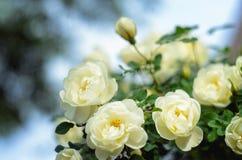 一朵白色玫瑰的开花的灌木 图库摄影