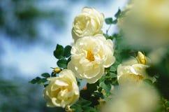 一朵白色玫瑰的开花的灌木 免版税库存照片