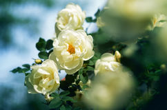 一朵白色玫瑰的开花的灌木 免版税图库摄影
