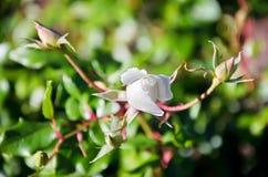 一朵白色玫瑰的未打开的芽 免版税库存照片