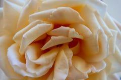 一朵白色玫瑰的特写镜头 图库摄影