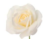 一朵白色玫瑰的芽 免版税库存图片