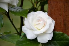 一朵白色玫瑰的细节 免版税库存照片