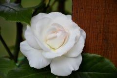一朵白色玫瑰的细节 免版税图库摄影