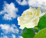 一朵白色玫瑰Dewimage在天空背景特写镜头的 库存照片