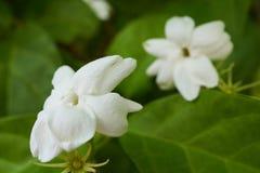 一朵白色茉莉花,一朵美丽的花的宏指令 库存图片