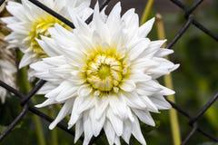 一朵白色菊花的特写镜头在篱芭的 图库摄影