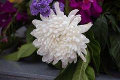 一朵白色菊花 花卉装饰 秋天花 免版税图库摄影
