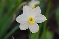 一朵白色黄水仙花 免版税库存照片