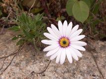 一朵白色紫色和橙色花的射击的关闭它的瓣a 库存图片