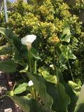 一朵白色水芋百合花在绿色海  库存图片