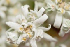 一朵白色edelweiss花的特写镜头 库存图片