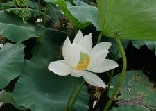 一朵白莲教花和绿色叶子 库存照片