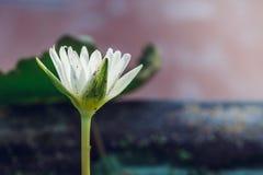 一朵白莲教花的出现是美丽的 免版税库存照片