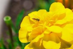 一朵真正地美丽的黄色花 库存照片