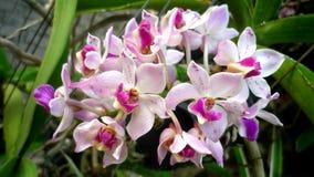 一朵精美兰花 与桃红色的白色 轻的花 开花泰国 在绿色落叶背景 juicines的一个完善的组合 免版税库存图片