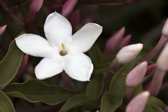 一朵精美白色茉莉花和有些芽 库存图片