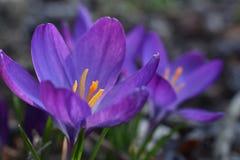 一朵紫色和黄色春天番红花 图库摄影