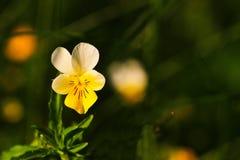 一朵紫色和黄色蝴蝶花花的特写镜头与绿色软焦点的在背景中 库存图片