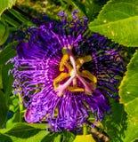 一朵紫色激情花的特写镜头有绿色背景 库存照片