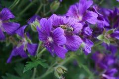 一朵紫色花在庭院里 免版税库存照片