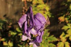 一朵紫色花的上面的特写镜头 免版税库存图片