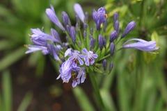 一朵紫色花 免版税库存照片
