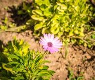 一朵紫色花 库存图片