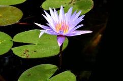一朵紫色莲花早晨 免版税库存照片