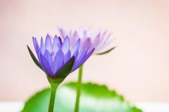一朵紫色莲花的出现是美丽的 免版税库存照片
