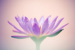 一朵紫色莲花的出现是美丽的 免版税库存图片
