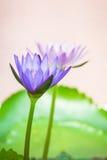 一朵紫色莲花的出现是美丽的 库存图片