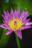 一朵紫色莲花的出现是美丽的 图库摄影