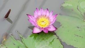 一朵紫色莲花 股票视频