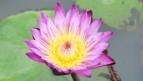 一朵紫色莲花 影视素材