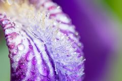 一朵紫色虹膜花的宏观照片与露水或雨水滴的在绿色背景的夏天阳光 图库摄影