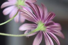 一朵紫色雏菊的瓣的后面的美好的条纹图形 免版税库存照片