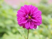 一朵紫色/紫罗兰色球大丽花花 免版税库存图片