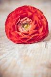 一朵红橙色毛茛花 免版税库存照片