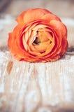 一朵红橙色毛茛花 图库摄影