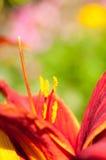 一朵红色和橙色热带花的极端Closup 库存图片