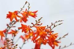 一朵红色和橙色花的特写镜头图片 库存图片