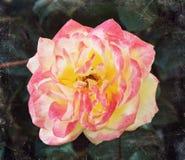 一朵红色和黄色玫瑰 库存图片