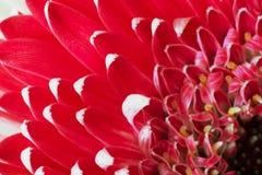 一朵红色大丁草花的瓣 库存图片