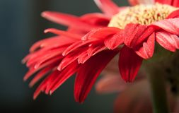 一朵红色大丁草雏菊 免版税库存照片