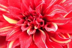 一朵红色大丽花的宏指令 免版税库存图片