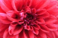 一朵红色大丽花的宏指令 免版税库存照片