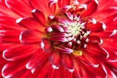 一朵红色大丽花的宏指令 免版税图库摄影