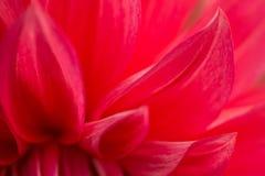 一朵红色大丽花花的宏观图象在新鲜的开花,背景花的 库存照片